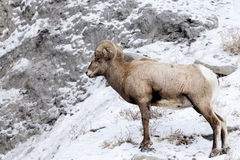 Портрет профиля снежных баранов Стоковое Изображение RF