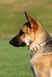 Портрет профиля Shepard немца в солнце Стоковые Изображения RF
