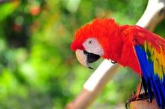 Портрет птицы ары шарлаха стоковое фото