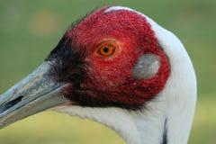 Портрет птицы белизны naped vipio Grus крана Стоковая Фотография