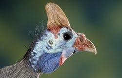Портрет птицы Гвинеи стоковое изображение rf
