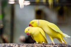 Портрет птицы длиннохвостого попугая кольца пар розовой стоя на ветви Стоковое Фото