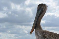 Портрет птицы конца-вверх пеликана Брайна женский Стоковые Изображения