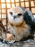 Портрет птицы сокола Стоковое Фото