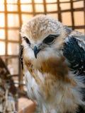 Портрет птицы сокола Стоковые Фотографии RF