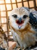 Портрет птицы сокола Стоковые Фото