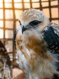 Портрет птицы сокола Стоковое Изображение