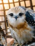 Портрет птицы сокола Стоковое фото RF