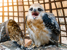 Портрет птицы сокола Стоковые Изображения RF