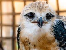 Портрет птицы сокола Стоковая Фотография