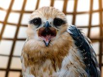Портрет птицы сокола Стоковое Изображение RF
