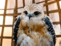 Портрет птицы сокола Стоковая Фотография RF