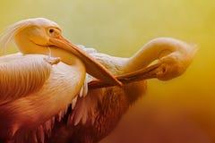 Портрет птиц пеликана, Kolkata, западная Бенгалия, Индия Стоковое Изображение RF