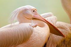 Портрет птиц пеликана, Kolkata, западная Бенгалия, Индия Стоковое Изображение