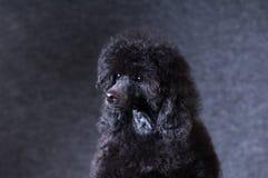 Портрет пуделя на студии Стоковые Фото