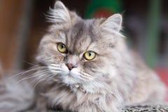 Портрет пушистого кота Стоковое Изображение RF