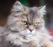 Портрет пушистого кота Стоковое Фото