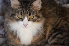 Портрет пушистого сладкого серьезного кота tabby с большим желтым dickey глаза и белых стоковые фото