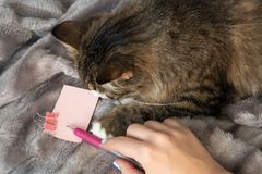 Портрет пушистого сладкого серьезного кота tabby с большим желтым dickey глаза и белых стоковая фотография