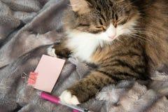 Портрет пушистого сладкого серьезного кота tabby с большим желтым dickey глаза и белых стоковые изображения rf