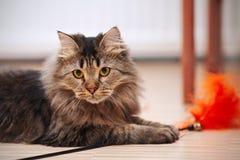 Портрет пушистого striped кота Стоковые Изображения
