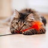 Портрет пушистого striped кота Стоковое Фото