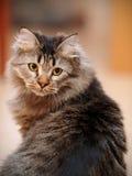 Портрет пушистого striped кота Стоковое фото RF