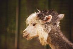 Портрет пушистых молодых pacos Vicugna альпаки Стоковые Фотографии RF