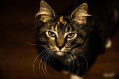 портрет пущи конца черного кота предпосылки вверх Стоковые Изображения RF