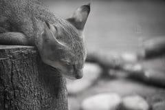 портрет пущи конца черного кота предпосылки вверх Стоковая Фотография RF
