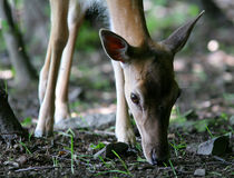 портрет пущи оленей Стоковая Фотография RF