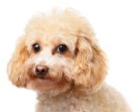Портрет пуделя собаки Стоковые Фотографии RF