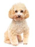 Портрет пуделя собаки Стоковое Фото