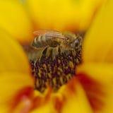 Портрет пчелы стоковые изображения rf
