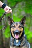 Портрет работая полицейской собаки Стоковая Фотография