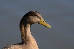 Портрет разнообразия утки кряквы Стоковое фото RF