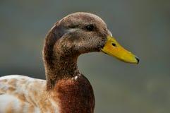 Портрет разнообразия Drake утки кряквы Стоковая Фотография RF