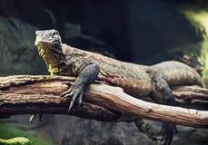 Портрет дракона Komodo (komodoensis Varanus), животная сцена Стоковая Фотография