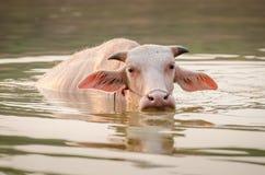 Портрет редкого белого индийского буйвола Азии, азиатского буйвола альбиноса Стоковая Фотография RF