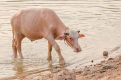 Портрет редкого белого индийского буйвола Азии, азиатского буйвола альбиноса Стоковое Изображение RF