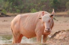 Портрет редкого белого индийского буйвола Азии, азиатского буйвола альбиноса Стоковые Фото