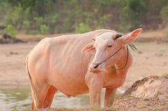 Портрет редкого белого индийского буйвола Азии, азиатского буйвола альбиноса Стоковая Фотография