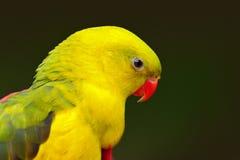 Портрет редкого желтого и зеленого попугая Правящий попугай или pebbler утеса, anthopeplus Polytelis, деталь салатового попугая,  Стоковые Изображения RF