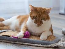 Портрет ржавой белой домашней кошки Стоковое фото RF