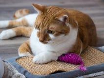 Портрет ржавой белой домашней кошки Стоковые Фотографии RF