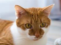 Портрет ржавой белой домашней кошки Стоковое Изображение