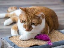 Портрет ржавой белой домашней кошки Стоковые Изображения RF