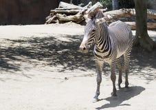 Портрет роста зебры полностью Стоковое фото RF