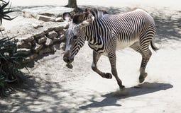 Портрет роста зебры полностью Стоковое Фото