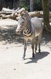 Портрет роста зебры полностью Стоковое Изображение